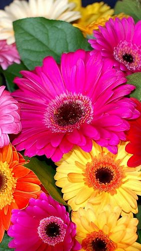 Colorful gerbera flowers-  my favorite but the more i pin i find others that are my favorite. How can it be
