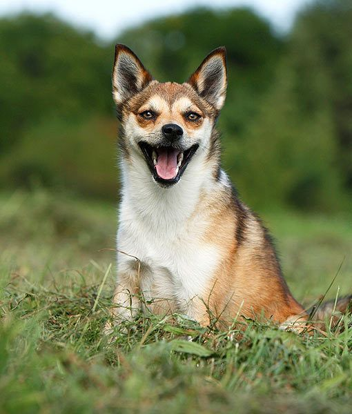 Breed: Norwegian Lundehund    Origin Story: The Norwegian Lundehund originated on the islands of arctic Norway. They were used to wrestle and retrieve live Puffins for farmers.    Fun Fact: Due to its past work, the Norwegian  Lundehund is also known as the Puffing Dog.