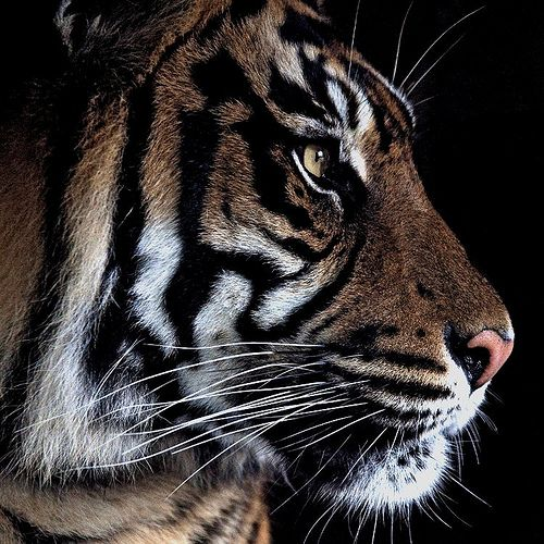 Outstanding Tiger Profile.
