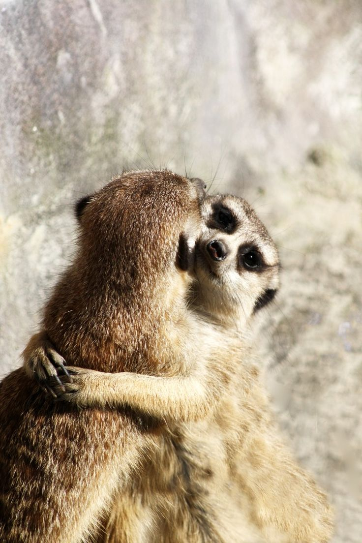 Auckland Zoo, Auckland, New Zealand - One of my favourite photos from Auckland Zoo. I just managed to get the right moment when this Meerkat came up to the other and grabbed him to push him over. However it looks just like a nice hug!