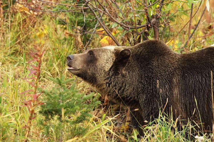 Grizzly Safaris: Where to find British Columbia's Apex Predators. #Grizzly #Grizzlies #Safari #BC #BritishColumbia #Bears #brownbear #Tweedsmuir #Provincial #Park #BellaCoola #NorthernBC #ButeInlet #KnightInlet #ExploreBC #ILoveBC