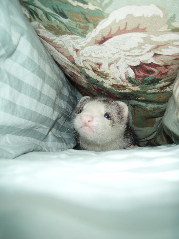 Pin on Ferrets