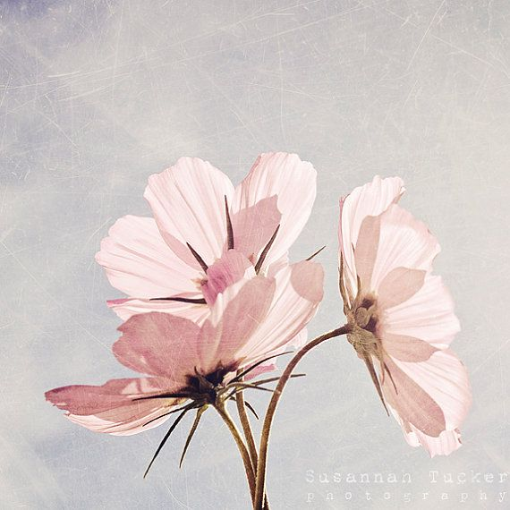 Pink flower photography - 8x8 pale pink cosmos flower photo - flower decor, floral art print, girls room decor, nursery art, nature photo on Etsy, $30.00