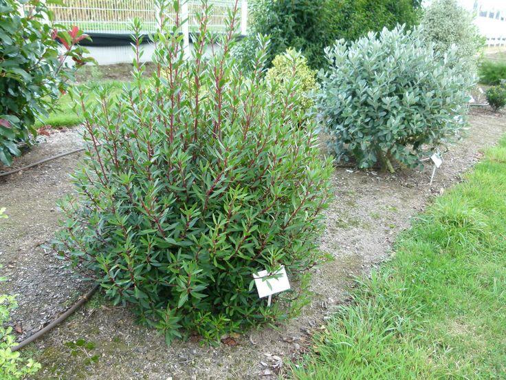 1000 id es propos de arbustes feuillage persistant - Arbustes d ornement exterieur ...