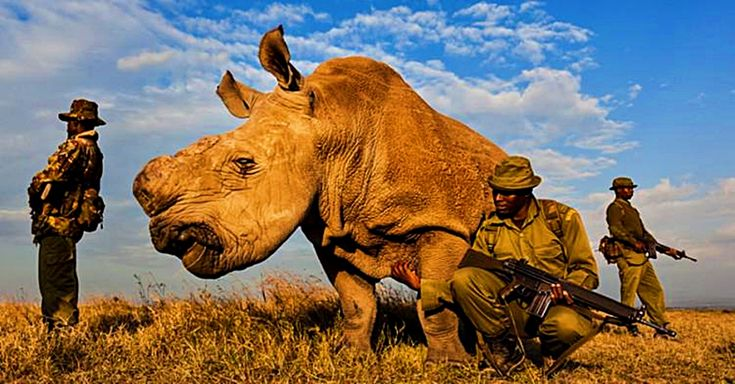 The Last Male Northern White Rhinoceros is Under Guard 24/7 | The Rainforest Site Blog