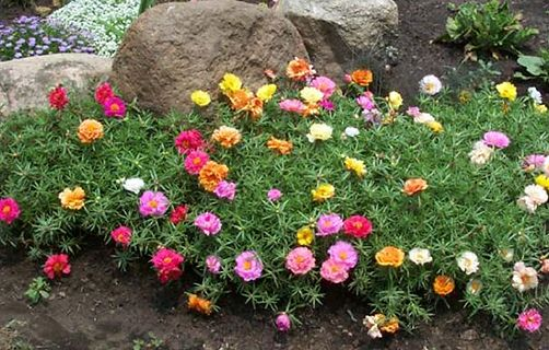 landscaping with moss roses, i used to plant these a lot at my other house before we sold it, i have yet to return to them tho........