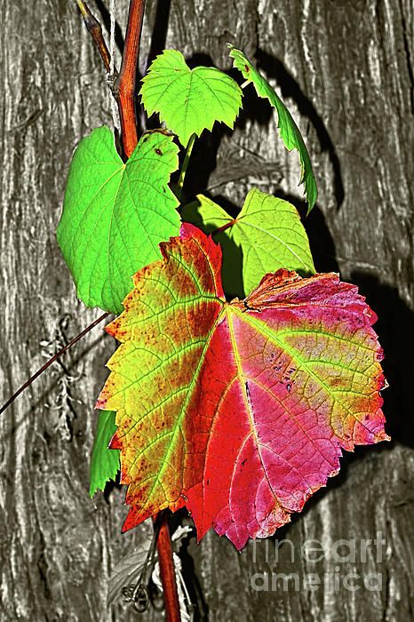 #Wild #Grape_Vine by #Kaye_Menner #Photography Quality Prints Cards Products at: http://kaye-menner.pixels.com/featured/wild-grape-vine-by-kaye-menner-kaye-menner.html