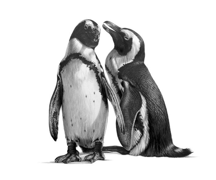 Best Richard Symonds ART Images On Pinterest Wildlife Art - Stunning drawings of endangered wild animals by richard symonds