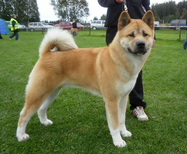 akita girls Meet mishu mishu is a female akita who has never met a stranger this girl is one happy pooch michu is outgoing & social with people of all ages mishu knows some .