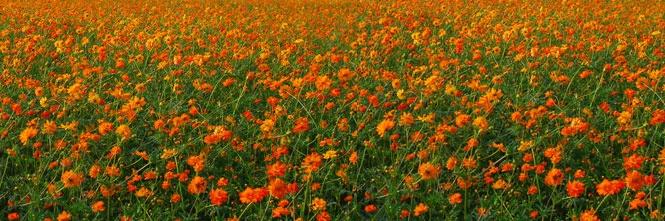 Okayama|岡山(おかやま)|岡山農業公園 ドイツの森|キバナコスモス| 40万本のキバナコスモス ブドウ畑下で黄色いコスモスのじゅうたんがお目見えです。 村エリアの建物とマッチして素敵な景色が広がります。 見ごろ予想:8月中旬 (天候や気温により開花状況が前後する場合がございます)