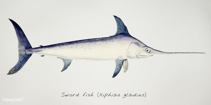 Antique drawing watercolor Sword fish marine life | Free Public Domain Image by rawpixel.com