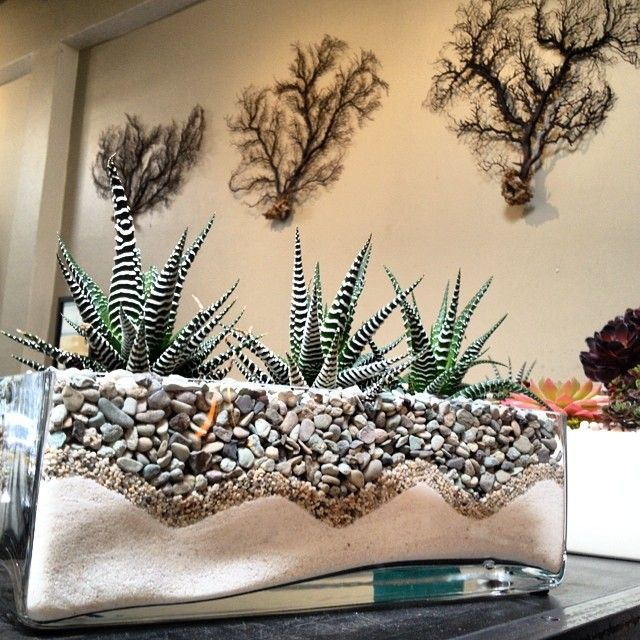 Zebra cactus (Haworthia attenuata) in glass planter with sand and pebbles