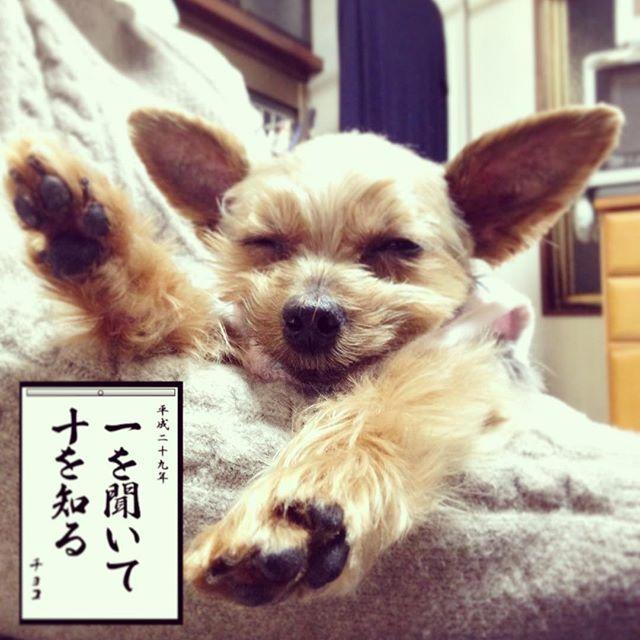 1/4 . チョコも書き初めやってみました💕 . 同じ名前の子はちゃんと同じものが出るんだね! . 7日が休みだからまたこの癒しを求めに 帰りたいと思います💕 . 作ってない方の年賀状も 作らなきゃいけないしね٩( ᐛ )و . みなさん可愛い年賀状をありがとう(●´ω`●) . 私のも近いうちに届くと思います💕 . #愛犬 #犬 #dog #ヨーキー #Yorkie #ヨークシャテリア #6歳 #メス♀ #チョコ #happy #ドアップ #寝顔 #耳ピーン #かわいい #耳でか #うそこメーカー #書き初め #書き初めメーカー #一を聞いて十を知る #実家 #ヨーキー倶楽部