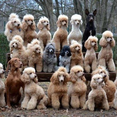 You can never have too many Standard Poodles ! Lol - looks