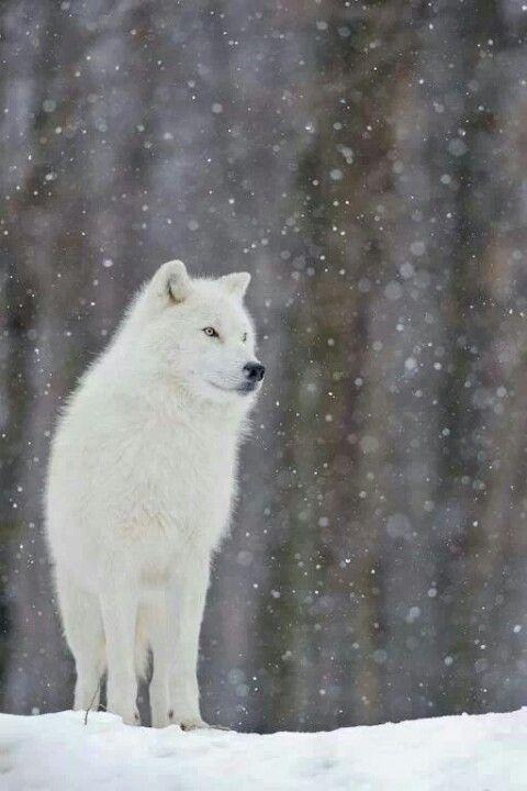 wolf snow wolves arctic majestic animals cute dog spirit animal yuki winter gray looks wild why think grey let nature
