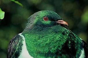 kereru nz wood pigeon - Google Search