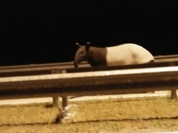 Selepas pak belang tapir pula dijumpai di LPT2   Tapir yang dijumpai di LPT2.  DUNGUN - Selepas kelibat pak belang dan Tapir di Lebuh Raya Pantai Timur Fasa II (LPT2) lebih kurang sebulan lalu seorang pengguna melalui pengalaman yang sama apabila terserempak dengan seekor tapir dewasa yang sedang melompat penghadang jalan di susur keluar Kuala Dungun di sini semalam. Dalam kejadian kira-kira jam 12.00 malam Mohd Zawawi Lokman 31 yang ketika itu dalam perjalanan pulang ke rumahnya di Dungun…