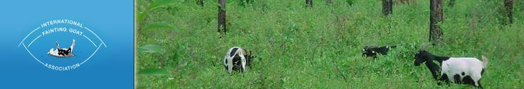Fainting Goats in TN 1800s: Their origin ... traces back to the early 1800's when a farm worker appeared in Marshall, County, Tennessee, with three does and a buck that fainted.  It was thought by his dress that he might have come from Nova Scotia.  He was a quiet man and wouldn't talk to anyone so whatever he knew will remain a secret forever.