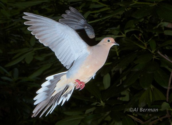 39 best dove tattoo images on pinterest white doves for Mourning dove tattoo