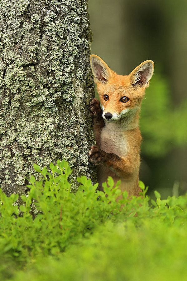 Red Fox Cub by jaroslavciganik77 on 500px