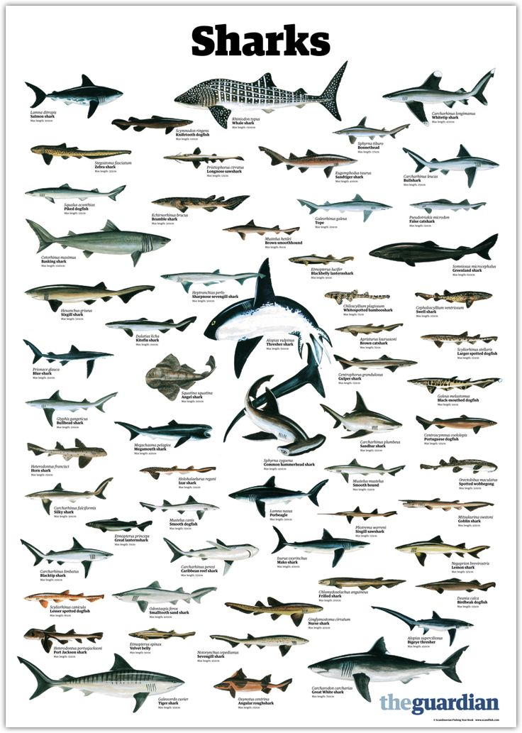 trynottodrown: a few different shark species (full size)