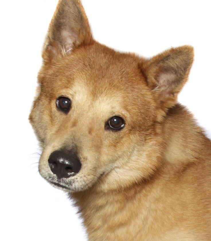 Shiba Inu dog for Adoption in Oakland Park, FL. ADN-501831 on PuppyFinder.com Gender: Male. Age: Adult