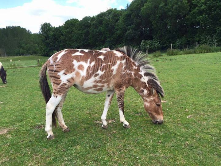Pintaloosa Zony (out of pintaloosa mare) Must click to enlarge photo to see markings better.