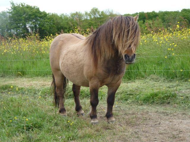 12 best Shetland Pony images on Pinterest | Horses, Barrel horse ...