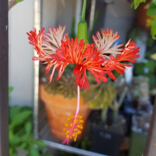 syngoniums:Hibiscus schizopetalus Rum Runner and Maple...