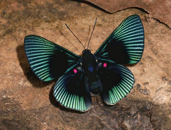 Butterflies of Amazonia - Lyropteryx apollonia - Study Butterflies of the World, Study the Bible and find out about God's wisdom...