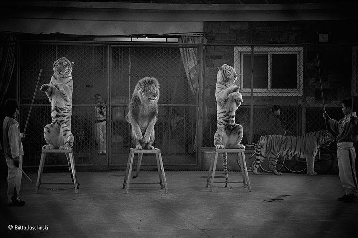 """Il premio per il """"Fotogiornalismo in natura"""": """"Felini rotti""""  Alcuni felini si """"esibiscono"""" al Seven Star Park di Gulin, in Cina. Ai felini sono stati tolti i denti e gli artigli e quando non si esibiscono vivono in piccole gabbie (che si vedono dietro di loro).  (Britta Jaschinsk/2015 Wildlife Photographer of the Year)"""