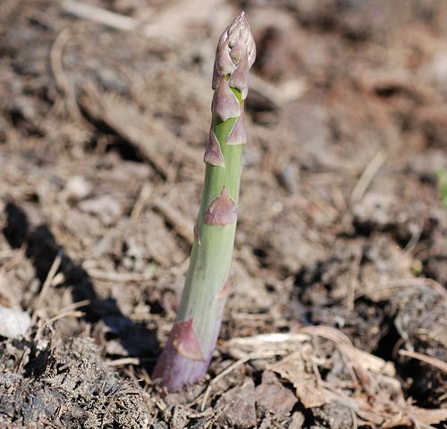 Planting Asparagus from Crowns | Kitchen Gardeners International