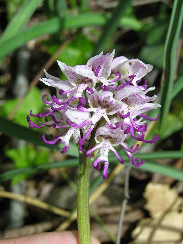 Naked Man Orchid (Orchis Italica) - These flowers are native to the Mediterranean and are popular for their bright pink and purple, densely clustered flowers that look like naked men. Source: Vladmir Livejournal.