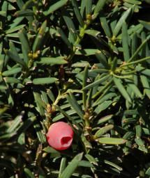Yew shrub picture. Their tiny, densely packed needles make yew shrubs amenable to shaping. - David Beaulieu