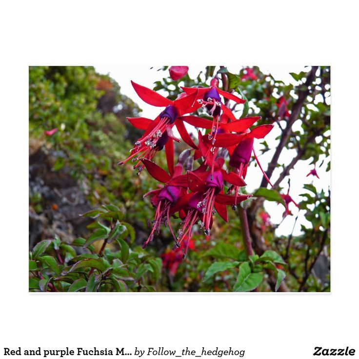 Red and purple Fuchsia Magellanica Postcard Red and purple Fuchsia Magellanica. Hummingbird Fuchsia or Hardy Fuchsia is a species of flowering plant in the Evening Primrose family, native to Patagonia. The picture was taken in Ushuaia, Argentina