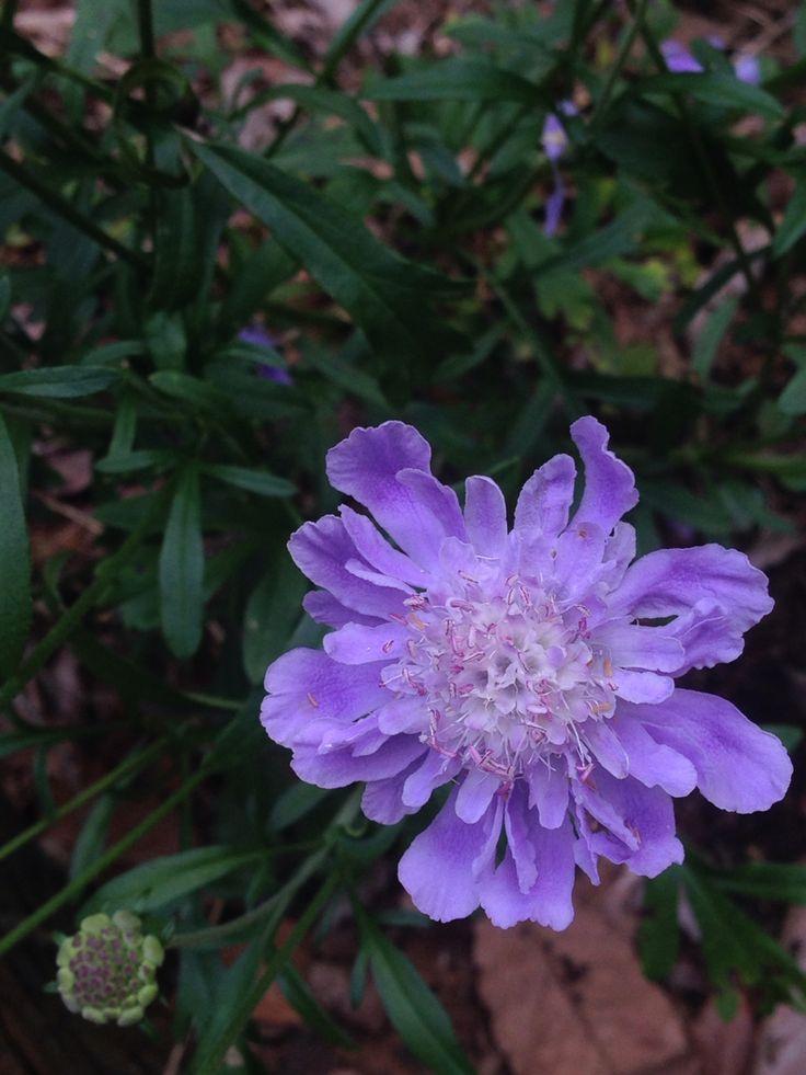 10/2 マツムシソウ 松虫草                                    マツムシとは、鈴虫のこと。 開花時期8~10月 花の色 青、紫 名前の読みまつむしそう(すかびおさ) 分布北海道から九州にかけて分布 生育地山地の草原に生える。 植物のタイプ 多年草 大きさ・高さ50~90センチ 分類マツムシソウ科 マツムシソウ属 学名Scabiosa japonica 花の特徴 真っ直ぐ伸びた茎の先に青紫色の花(頭花)をつける。 花序の直径は3センチから5センチくらいである。 花序の中央にある花は筒状で小さく、周囲の花は唇形で大きい。 総苞片(花序全体を包む葉の変形したもの)は線状である。 雄しべは4本で、葯は青い色が濃い。