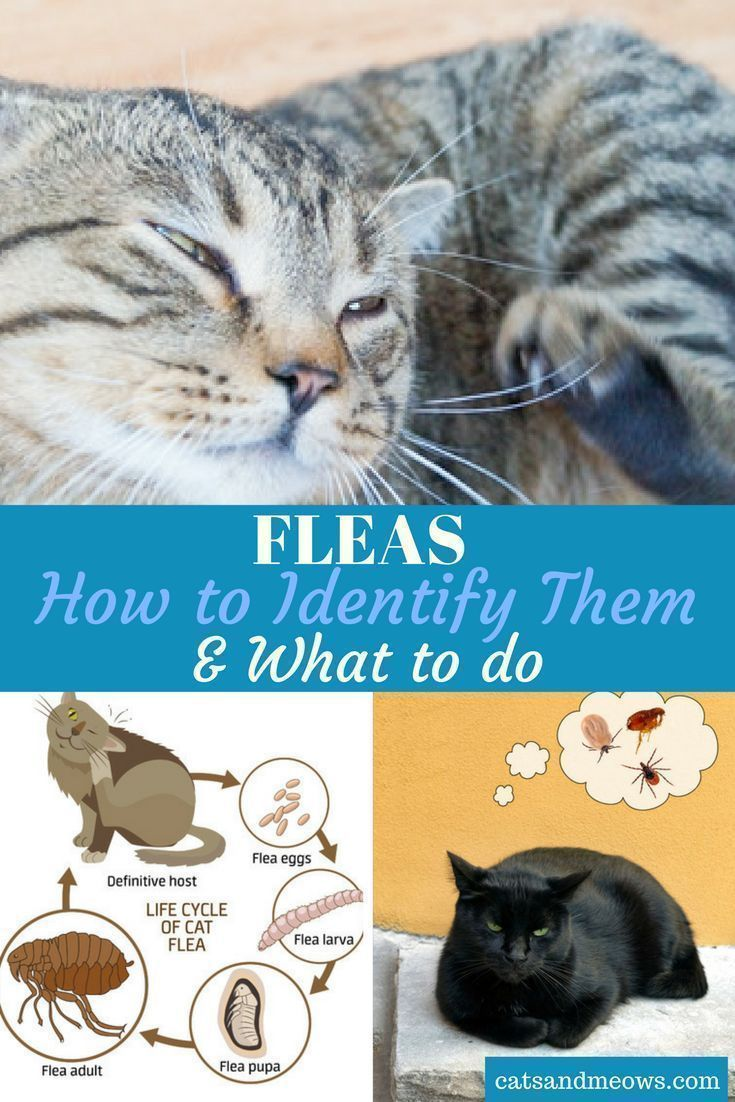 Cat Fleas How To Identify Them What To Do Cat Fleas