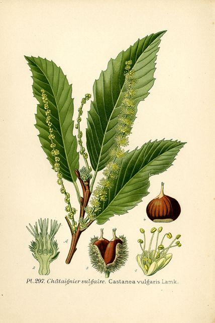 Châtaignier vulgaire dans A. Masclef, Atlas des plantes de France, Paris, 1891 / ©Musée du Vivant - AgroParisTech