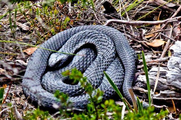 #Tasmanian Tiger #Snake. Article and photo by Carol Haberle for Think #Tasmania @Carol M Haberle