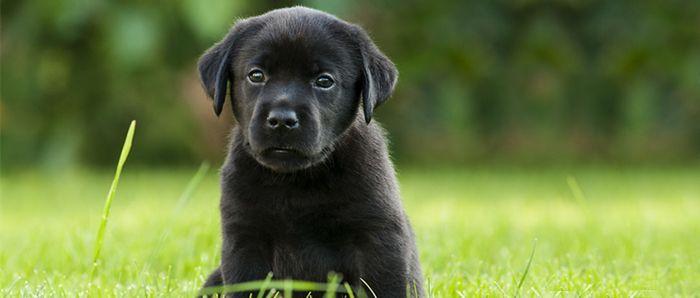 Labrador Welpen – Infos, Züchter & Kaufberatung