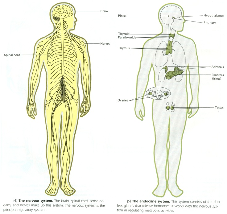 an essay on endocrine and nervous system 000+ term the peripheral nervous system consists of the an essay on endocrine and nervous system nerves that branch from the endocrine system endocrine essays result for download 0.