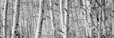 Aspen Trees in a Forest, Rock Creek Lake, California, USA Photographic Print at AllPosters.com