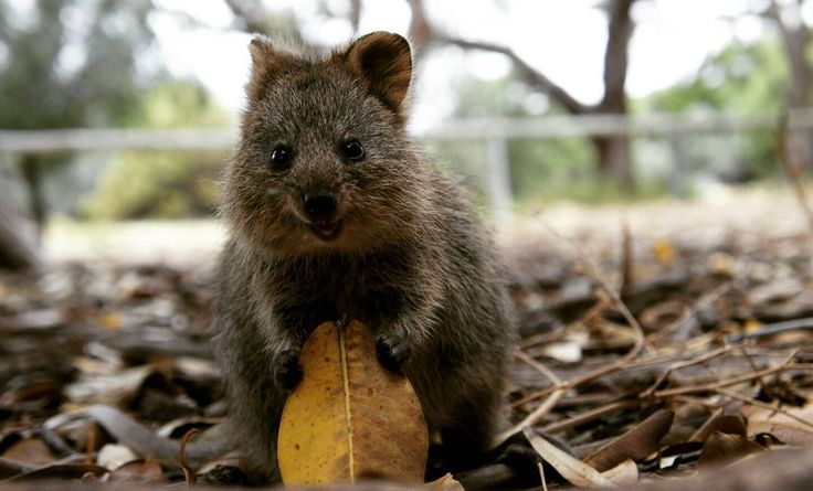 Don't worry be happy! - #somewhere#australia#western#australia#westernaustralia#rottnest#island#rottnestisland#quokka#quokkast#leave#nature#animal#wildlife#cute#adorable#quotes#quote#dont#worry#be#happy#traveling#traveler#travel#love#loveit#good#night by b.somewhere http://ift.tt/1L5GqLp