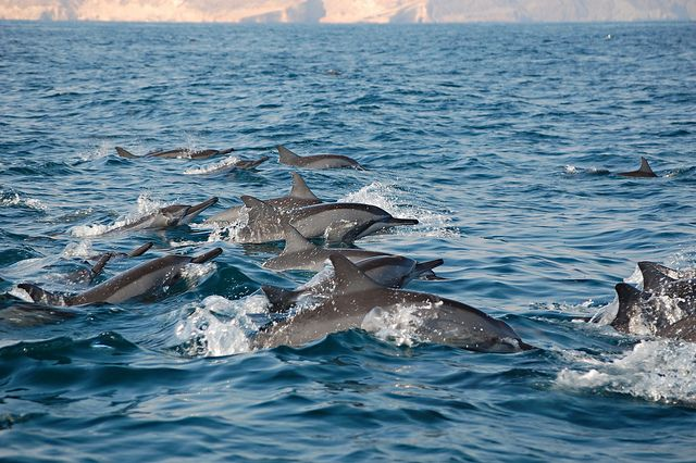 Dolphin Watchin by Oman Tourism, via Flickr