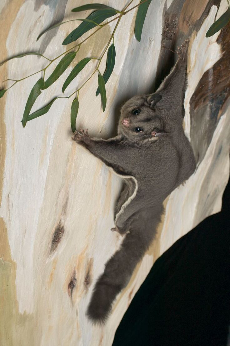 A Sugar Glider landing on the trunk of a Red River Gum tree, Australia by Jon Augier