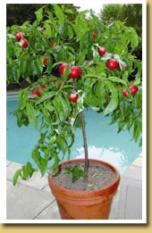 Potted ultra dwarf Goldmine nectarine tree for the back patio.