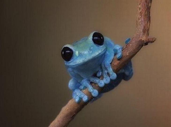 Há várias espécies de sapos azuis venenosos, mas esse sapo é apenas uma versão mutante dos seus mais amplamente conhecidos irmãos verdes. sua coloração anormal - mas belíssima - é atribuída à falta de pigmento na sua pele.