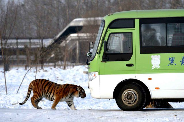 This picture taken on January 6, 2014 shows a Siberian tiger walking by a visitors' bus at the Siberian Tiger Park in Harbin, northeast China's Heilongjiang province. The Siberian Tiger Park was built in 1996, located on the north bank of the Songhua River and occupying an area of 1,440,000 square meters (355.8 acres), is the largest natural park for wild Siberian tigers in the world. (Photo by Goh Chai Hin/AFP Photo)