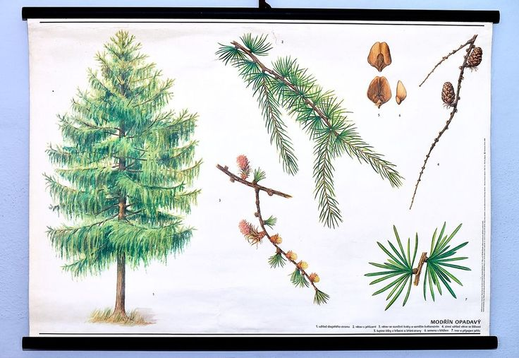 Larch tree vintage school wall chart antique botanical original poster home art #Vintage