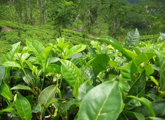 Sekuen Genom Teh Camellia sinensis @Penelitian